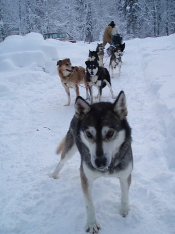 Iditarod Sled Team